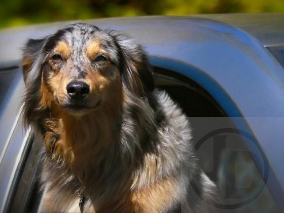 Truck Dog (5) - Version 2